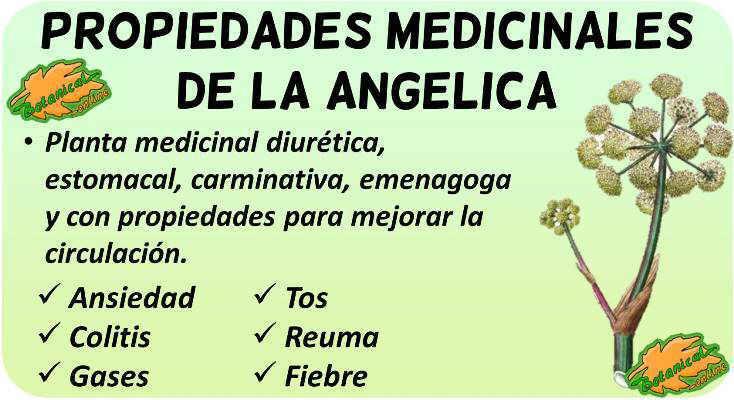 angelica archangelica planta propiedades medicinales, curativas beneficios