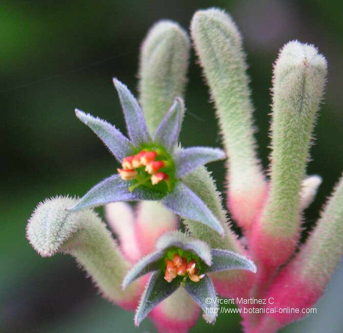 ANIGOZANTHOS FLAVIDUS FLOWER