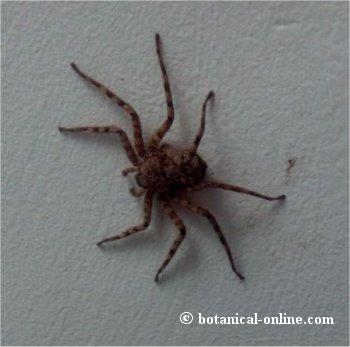 araña cangrejo de pared