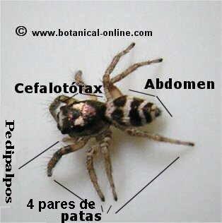partes araña