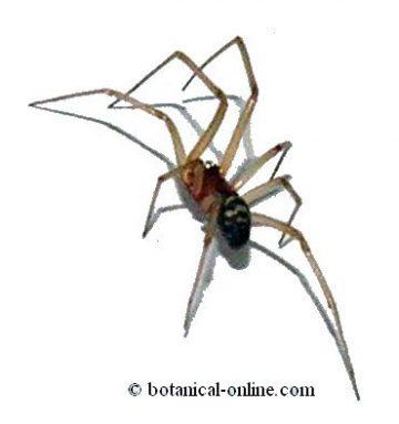 Araña del armario