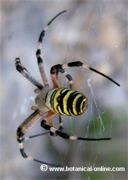 Araña tigre 4