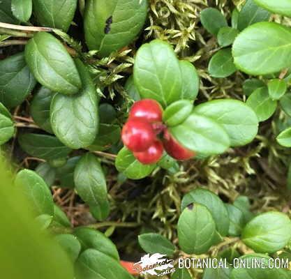 arandano rojo americano