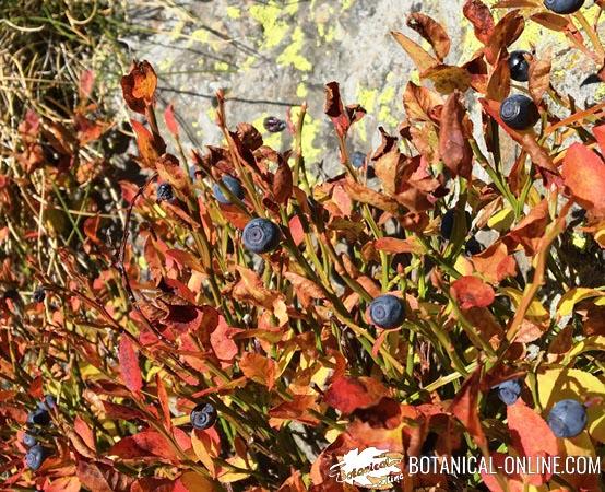 hojas arandanos