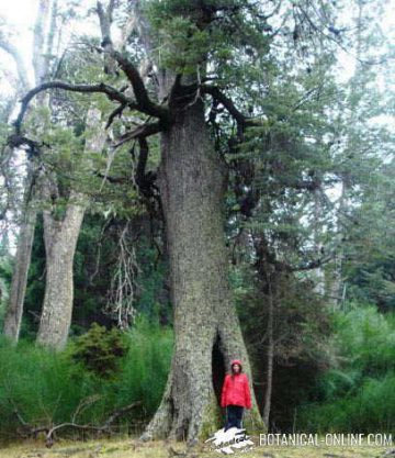 arbol gigante Nothofagus pumilio bariloche