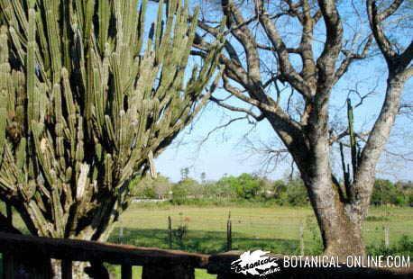cactus grande tipo arbol