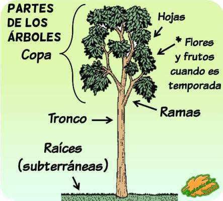 Dibujo de rama de aguacate para colorear dibujos para for Cuales son las partes de un arbol