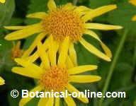 arnica flores