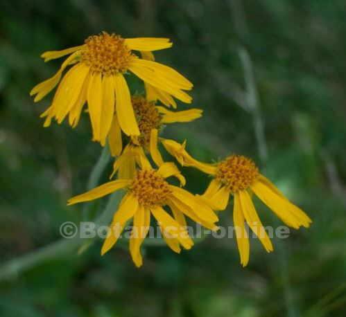 flores de arnic