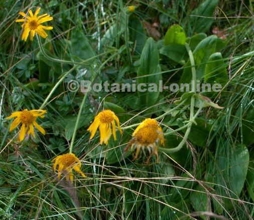 arnica montana flores planta con hojas