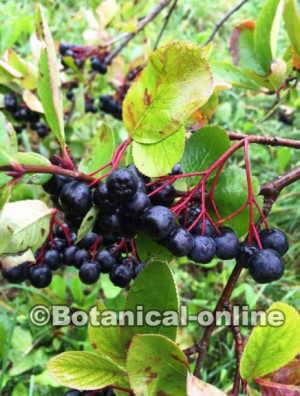 aronia melanocarpa fruta