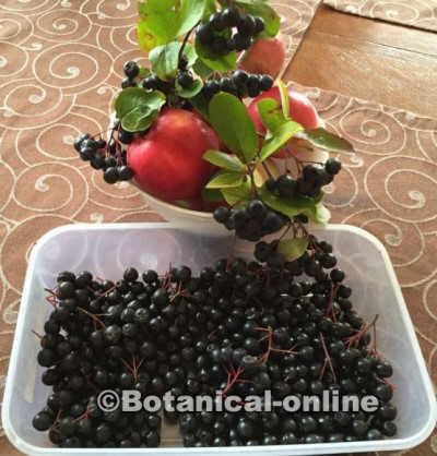fruta aronia planta silvestre