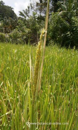 Detalle espiga de arroz
