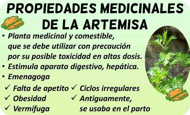 propiedades medicinales de la artemisa artemisia