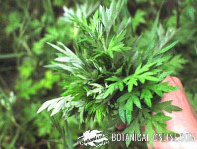 artemisia artemisa pastel planta