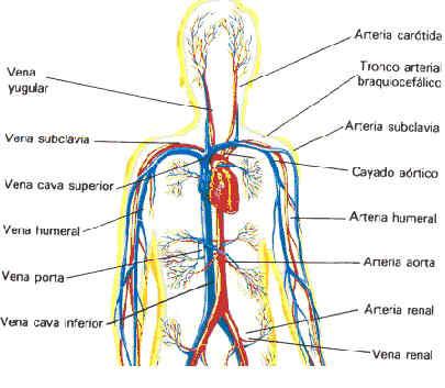 sistema linfatico arterias y venas