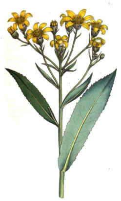 aster tripolium