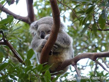 koala durmiendo en un árbol