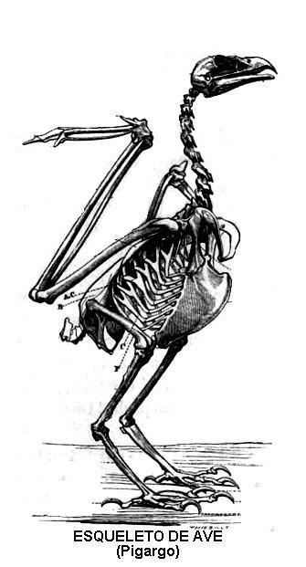 esqueleto de ave
