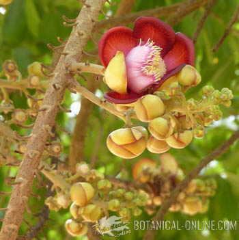 flor arbol Ayahuma couroupita