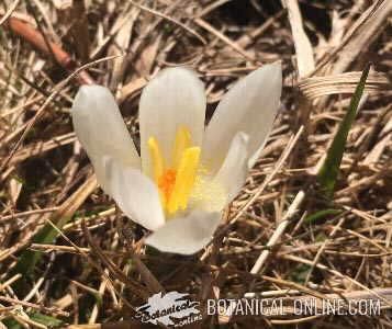 flor azafran alta montaña