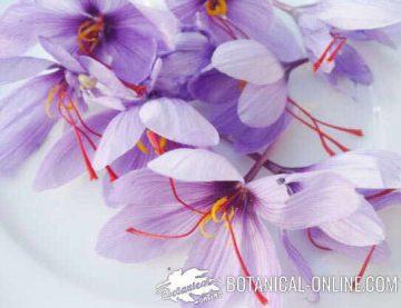 flores de azafran
