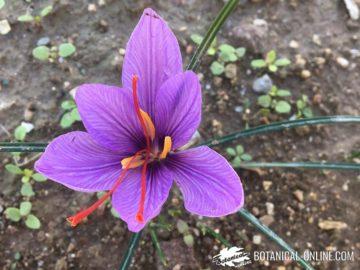flor de azafran y sus partes