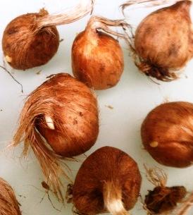 Cultivo del azafr n - Como cultivar azafran ...