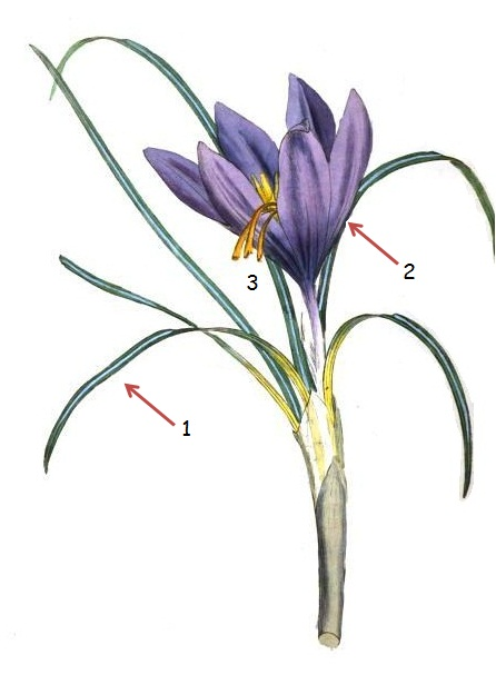 Safreon crocus sativus