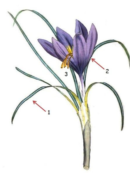 azafran crocus sativus