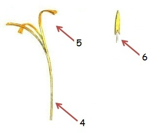 Different parts of saffron flower