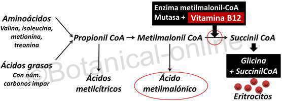 sintomas falta deficit deficiencia vitamina b12 cobalamina diagnostico acido metilmalonico malonil coenzima reaccion enzima