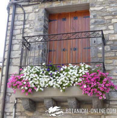 plantas balcon petunias