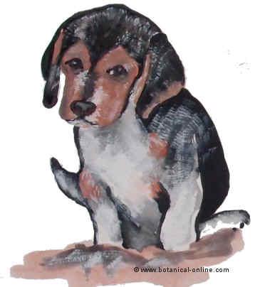 Dibujo de beagle
