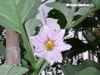 berenjena flor