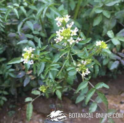 berros planta flor frutos