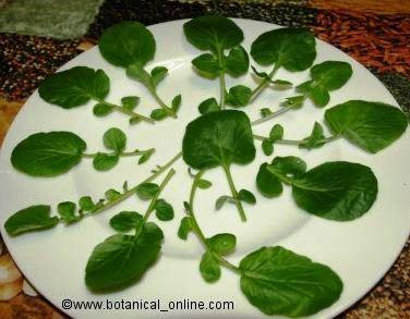 Foto de hojas de berro