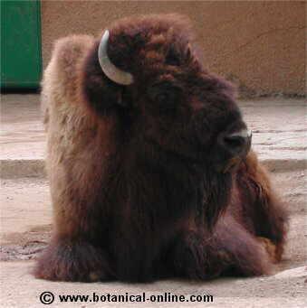 Bisonte americano tumb