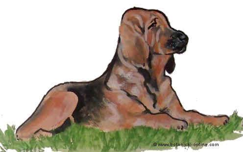 Dibujo de bloodhound