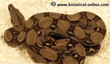 Boa constrictor 2