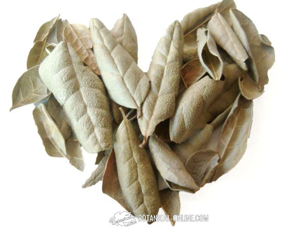 Como tomar hojas de boldo