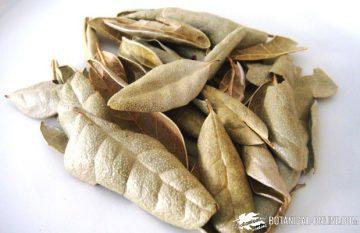 hojas de boldo secas
