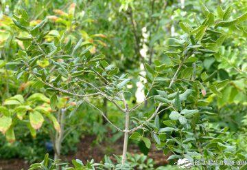 boldo rama arbol