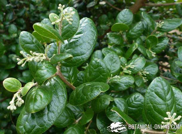 hojas de boldo
