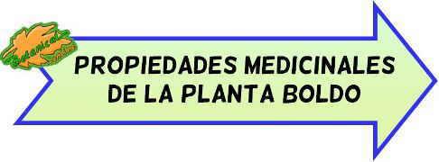 propiedades medicinales boldo