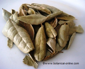 Photograph of boldo leaves