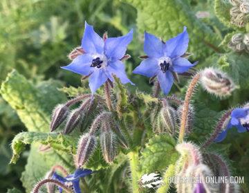 borraja flores