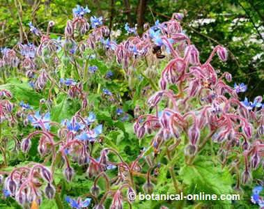 borraja planta medicinal