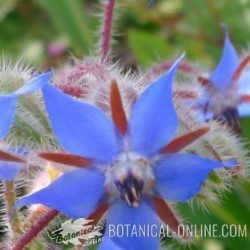 borraja flor