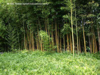 bosquecillo de bambus